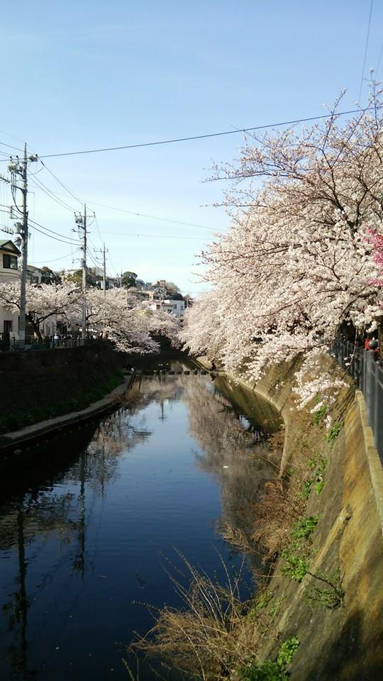弘明寺の桜