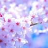 【さくら】春のデートや家族とのお出かけに最適! 神奈川県のオススメ&穴場 桜スポット3ヶ所